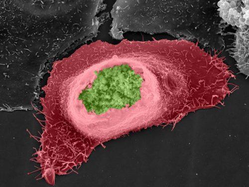 nấm chlamydia là gì?